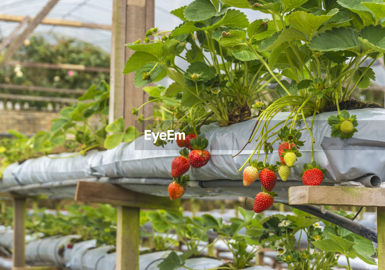 growth, plant, outdoors, nature, leaf, day, freshness, fruit, red, flower, no people, greenhouse, close-up