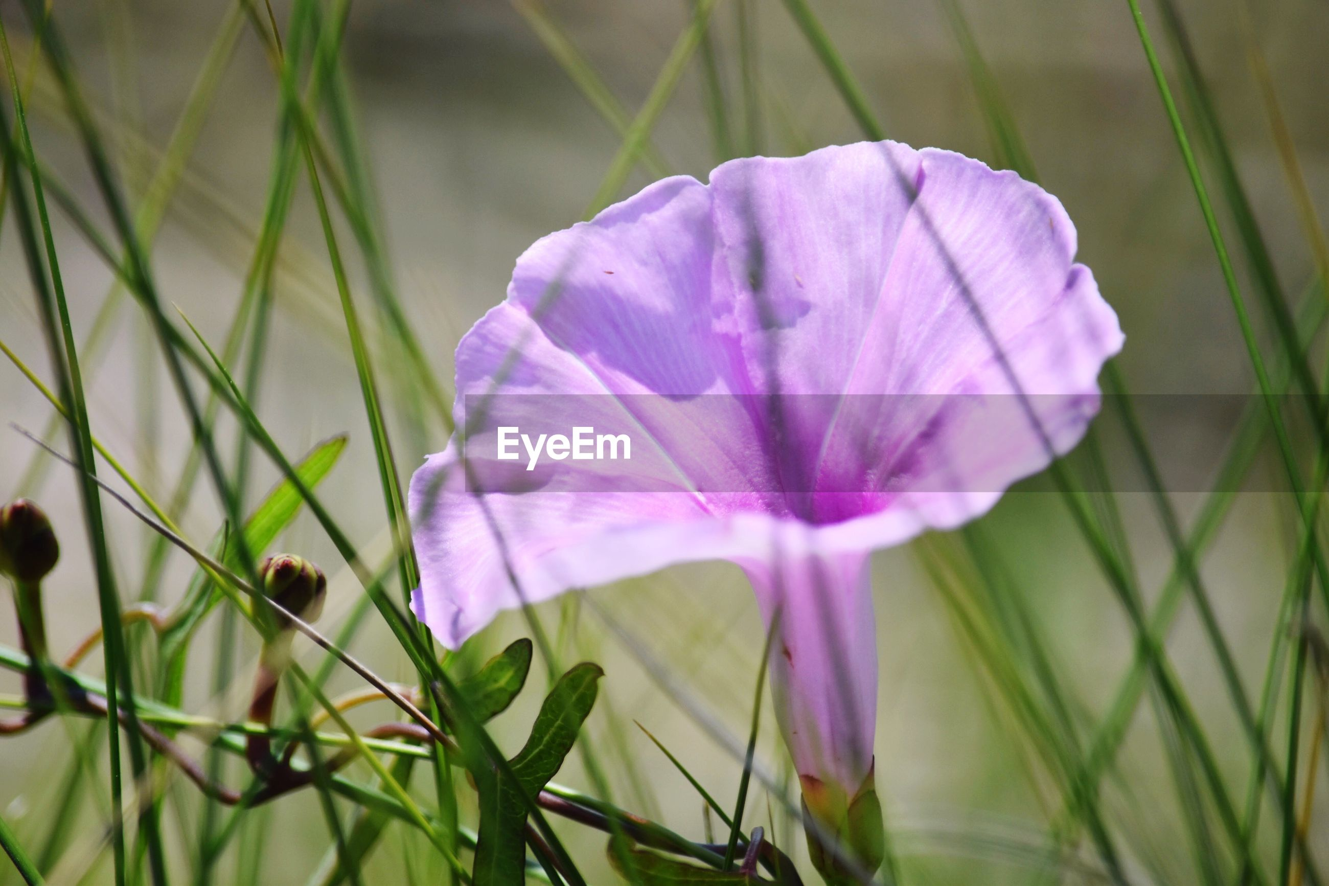 CLOSE-UP OF PURPLE FLOWER BLOOMING IN GRASS
