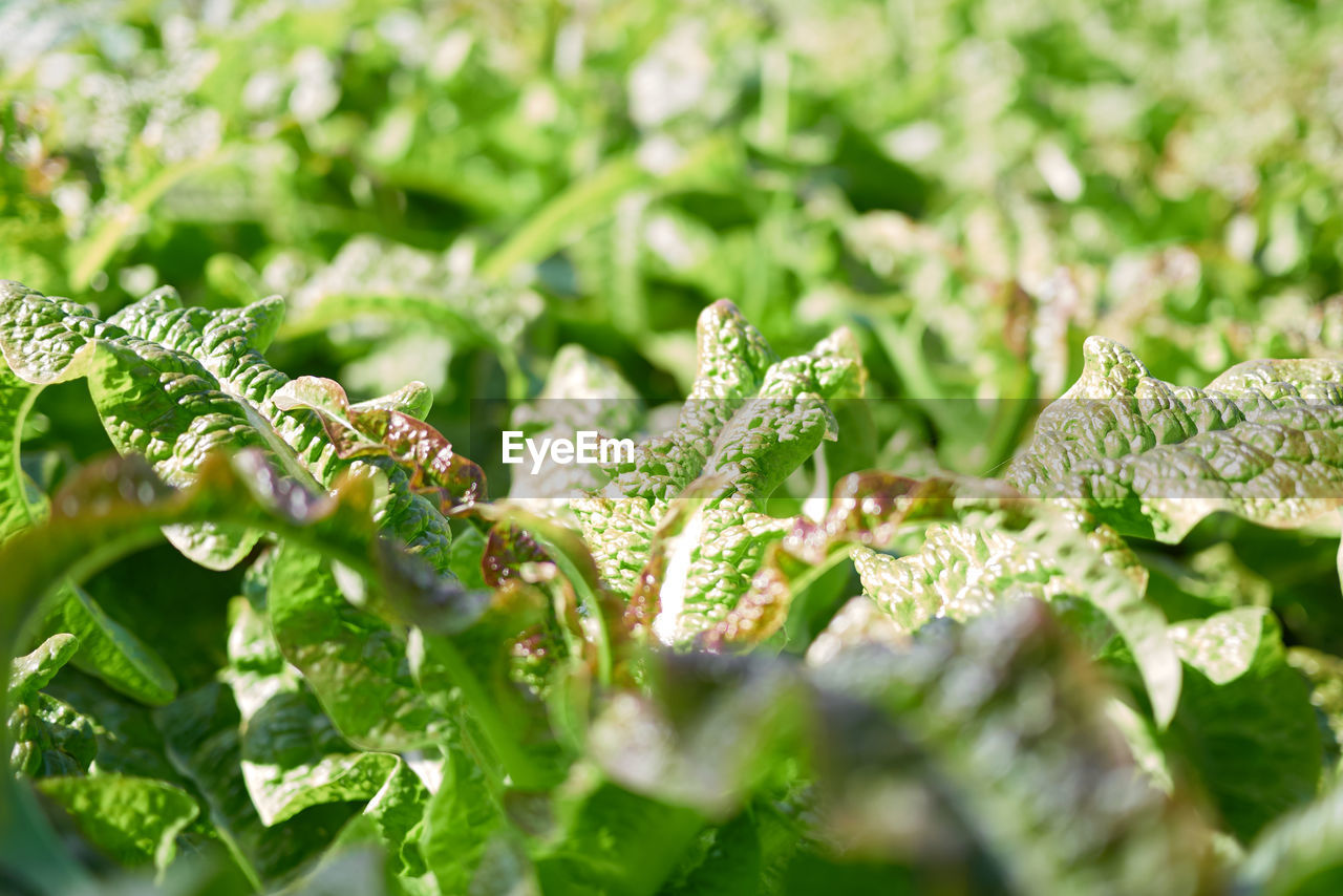 green color, plant, selective focus, growth, leaf, plant part, close-up, beauty in nature, nature, day, no people, freshness, tranquility, vulnerability, full frame, outdoors, backgrounds, fragility, food and drink, water, leaves