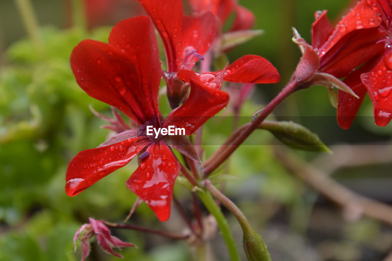 red, close-up, beauty in nature, plant, growth, focus on foreground, flowering plant, flower, freshness, vulnerability, fragility, nature, no people, petal, flower head, inflorescence, day, plant part, leaf, outdoors