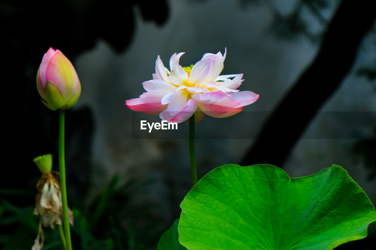 flowering plant, flower, plant, freshness, petal, vulnerability, beauty in nature, fragility, growth, close-up, leaf, flower head, inflorescence, plant part, pink color, focus on foreground, nature, water lily, no people, plant stem, outdoors, lotus water lily, pollen