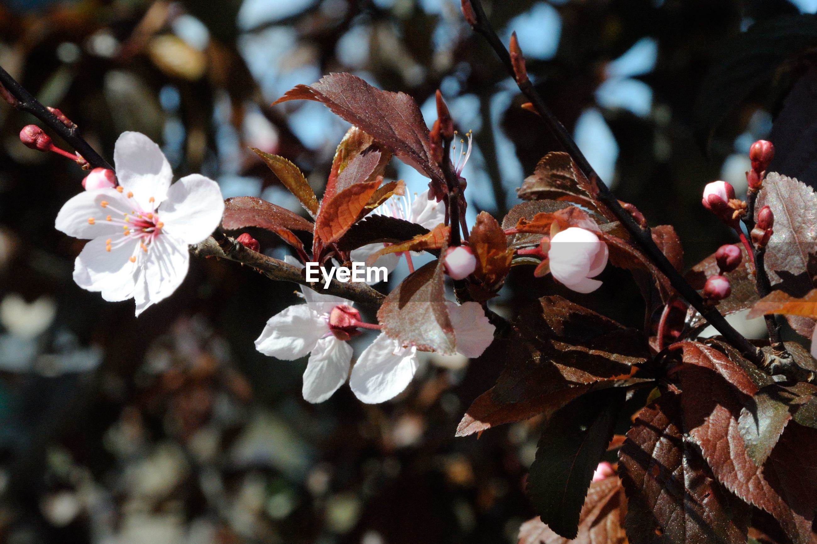 flower, fragility, freshness, petal, branch, growth, close-up, twig, beauty in nature, nature, focus on foreground, cherry blossom, blossom, tree, white color, in bloom, fruit tree, flower head, stamen, springtime