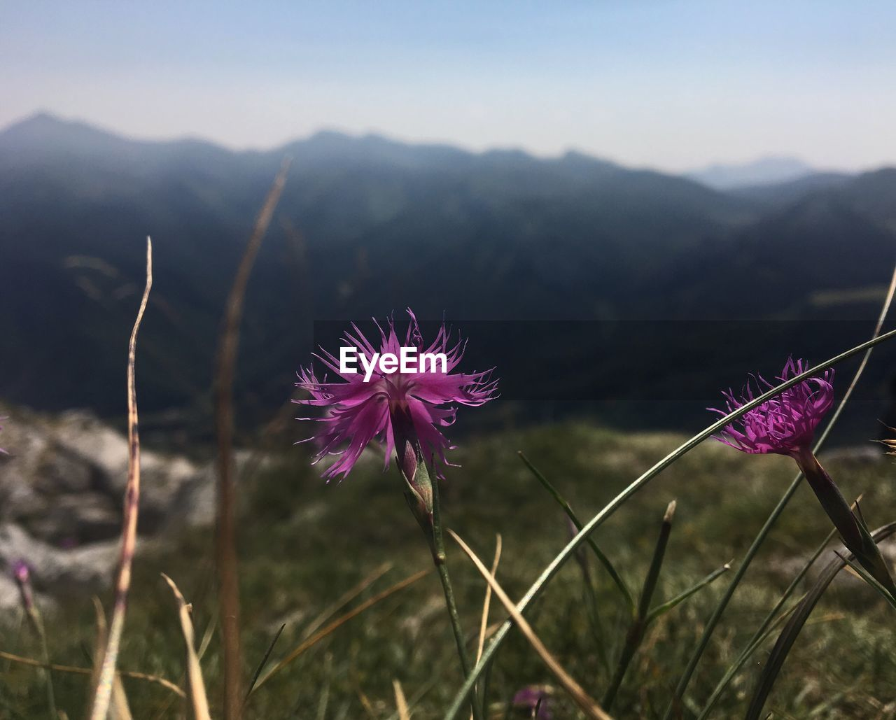 beauty in nature, flower, flowering plant, plant, growth, vulnerability, fragility, freshness, focus on foreground, nature, close-up, land, field, pink color, mountain, no people, inflorescence, flower head, day, sky, purple, outdoors
