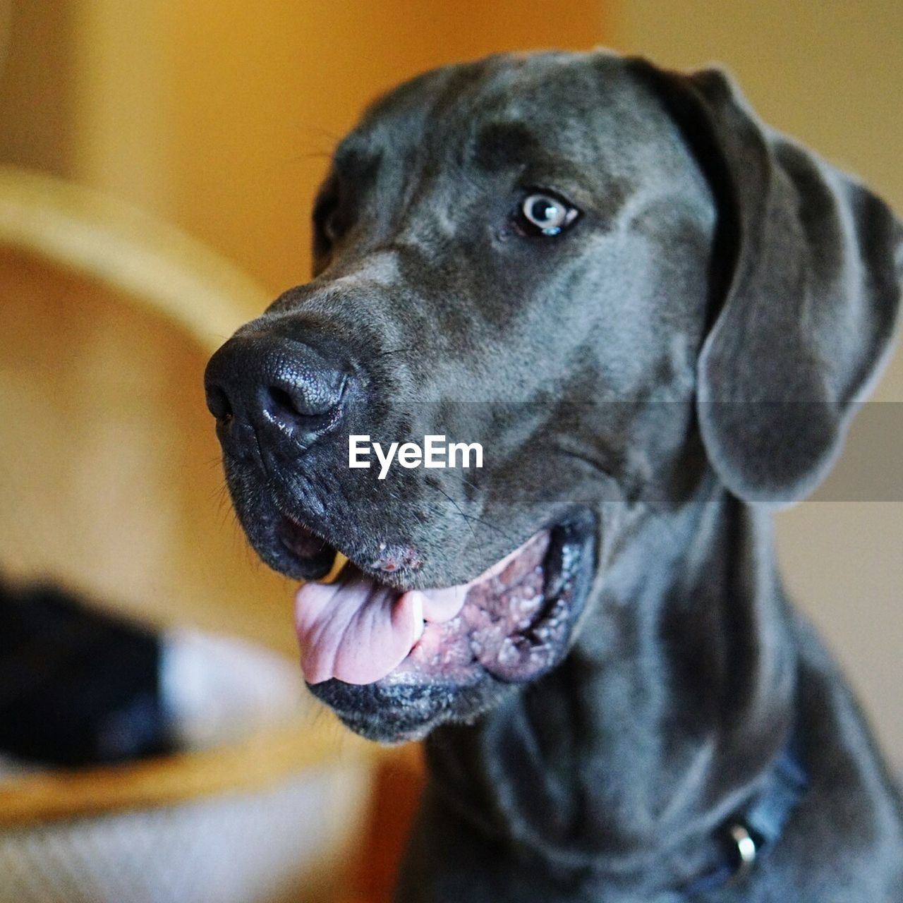 Close-up of great dane at home