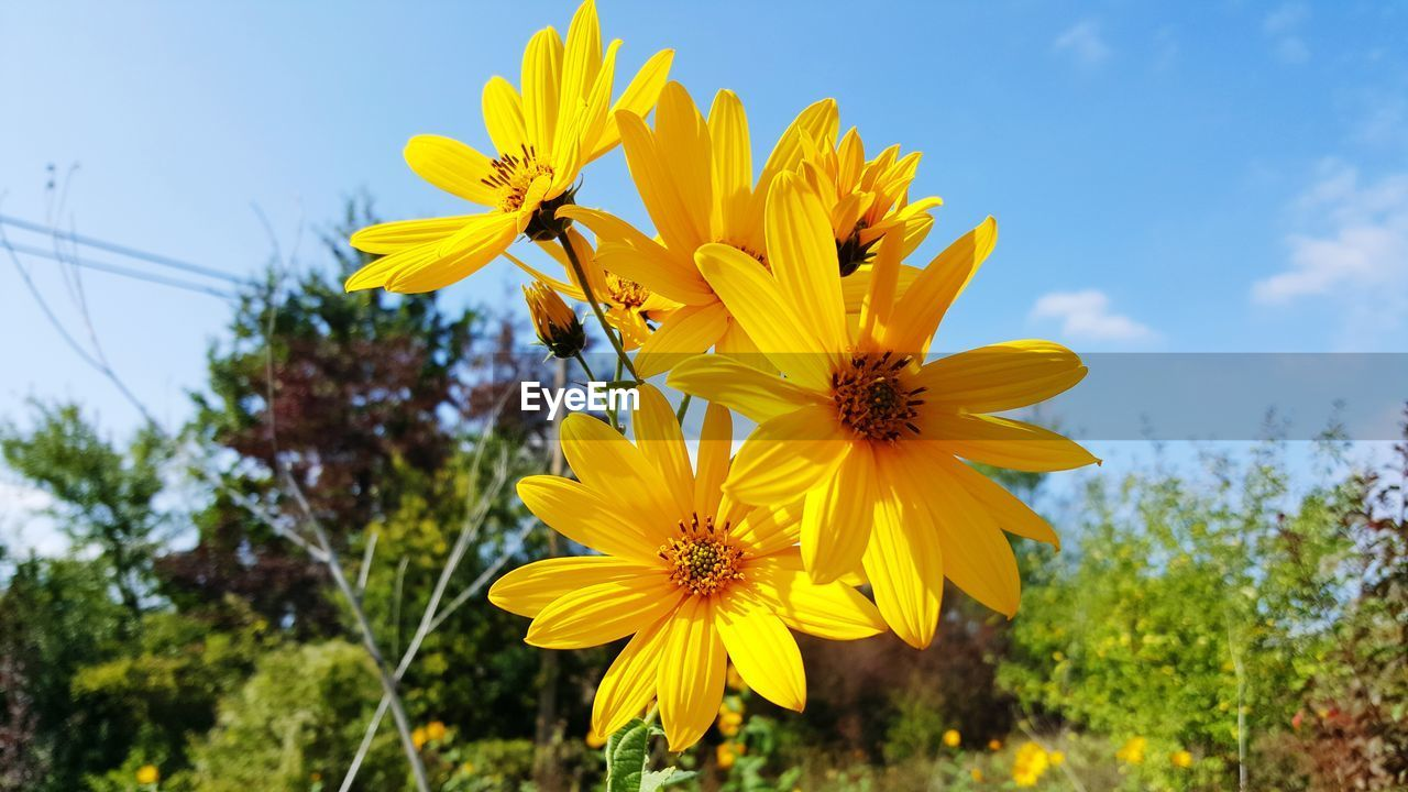 yellow, flowering plant, flower, plant, vulnerability, petal, freshness, fragility, flower head, growth, inflorescence, beauty in nature, sky, close-up, nature, focus on foreground, pollen, day, no people, outdoors, sunflower
