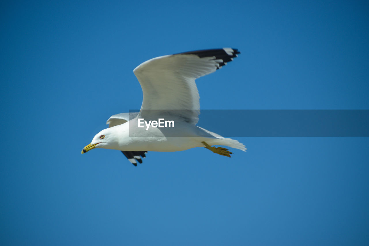 animals in the wild, bird, animal themes, vertebrate, animal, sky, flying, animal wildlife, blue, spread wings, low angle view, one animal, clear sky, mid-air, copy space, seagull, no people, day, motion, nature, outdoors