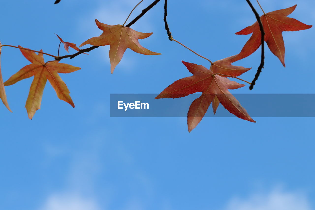 plant part, leaf, sky, autumn, no people, nature, low angle view, day, close-up, orange color, change, beauty in nature, plant, focus on foreground, outdoors, blue, maple leaf, tree, branch, clear sky, leaves, natural condition