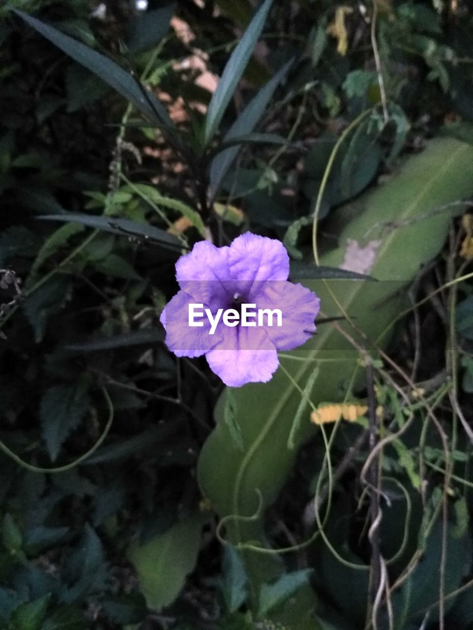 flower, growth, fragility, no people, nature, blooming, petal, plant, outdoors, day, beauty in nature, freshness, leaf, flower head, close-up, periwinkle