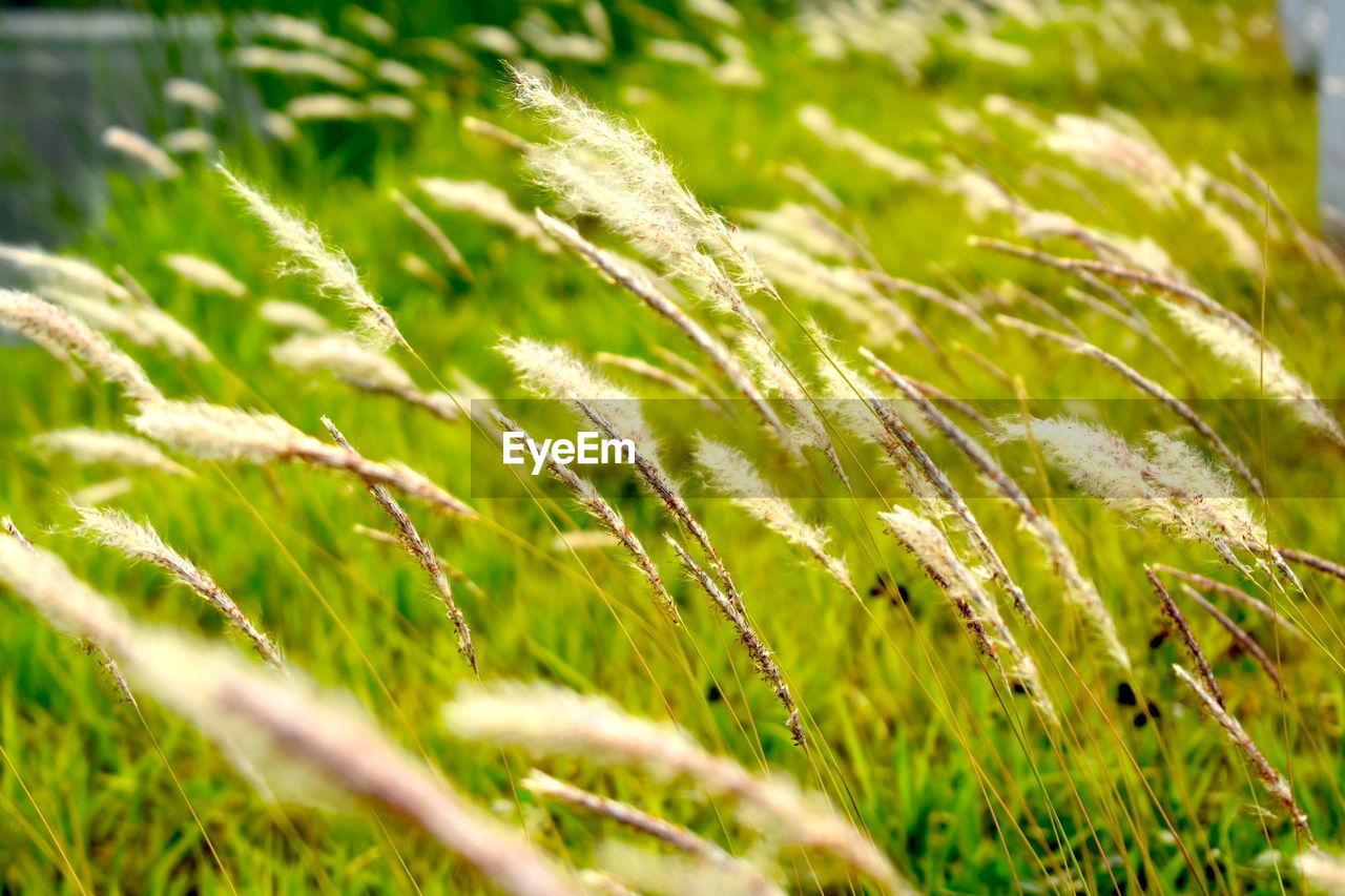 growth, plant, green color, beauty in nature, selective focus, close-up, nature, day, no people, grass, land, field, outdoors, tranquility, freshness, focus on foreground, sunlight, crop, full frame, leaf, purity, blade of grass, dew