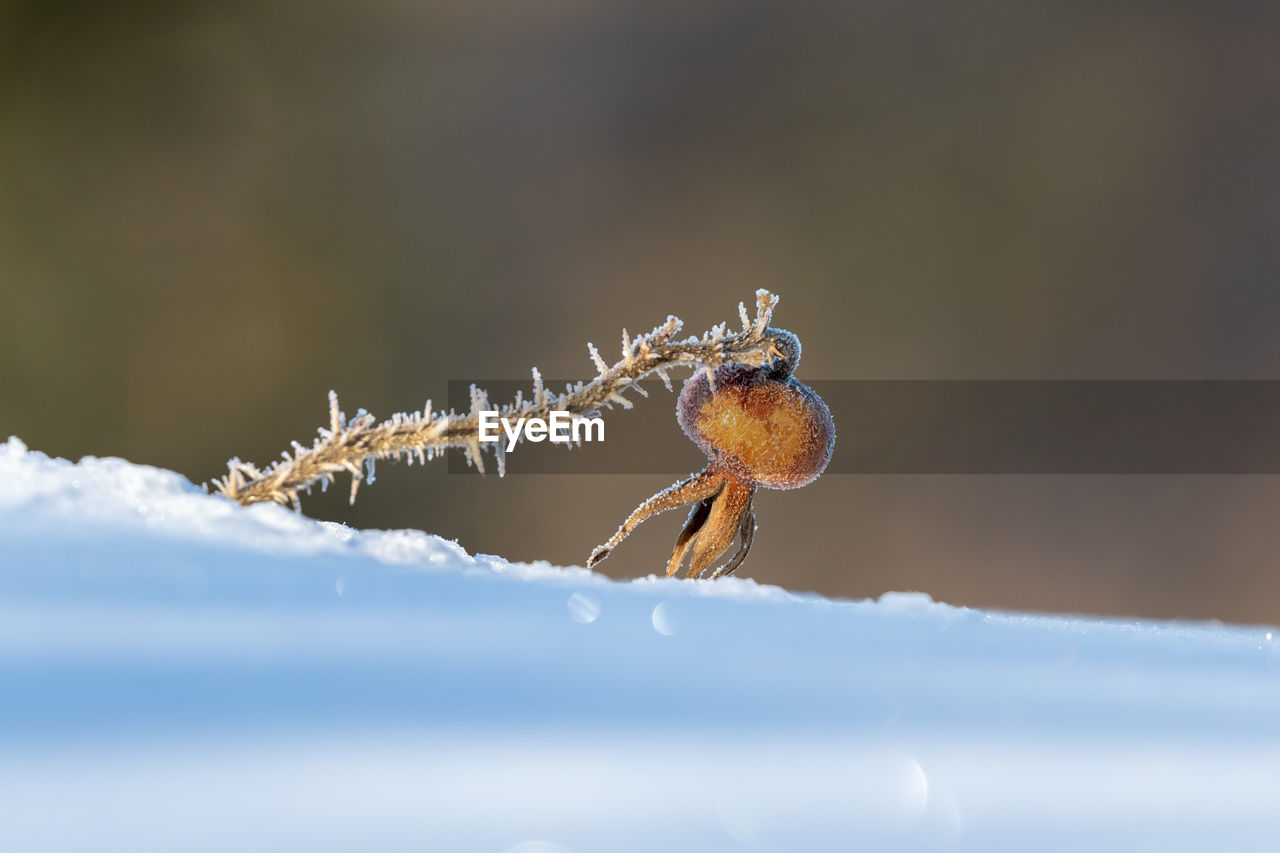close-up, animal wildlife, animals in the wild, one animal, selective focus, cold temperature, animal themes, nature, animal, winter, day, invertebrate, no people, focus on foreground, ice, frozen, snow, insect, frost, outdoors, marine, animal eye