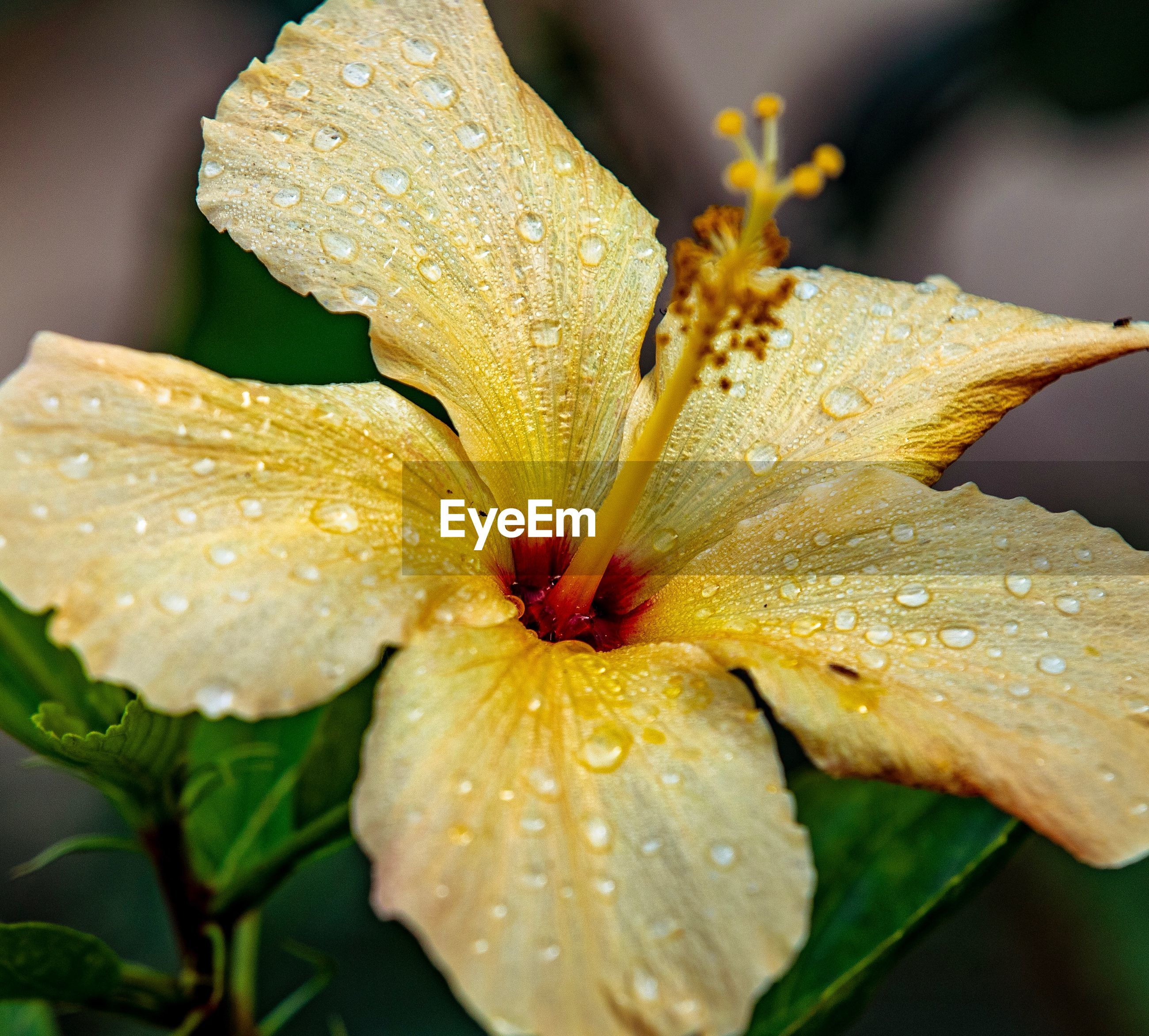 CLOSE-UP OF WATER DROPS ON YELLOW LILY