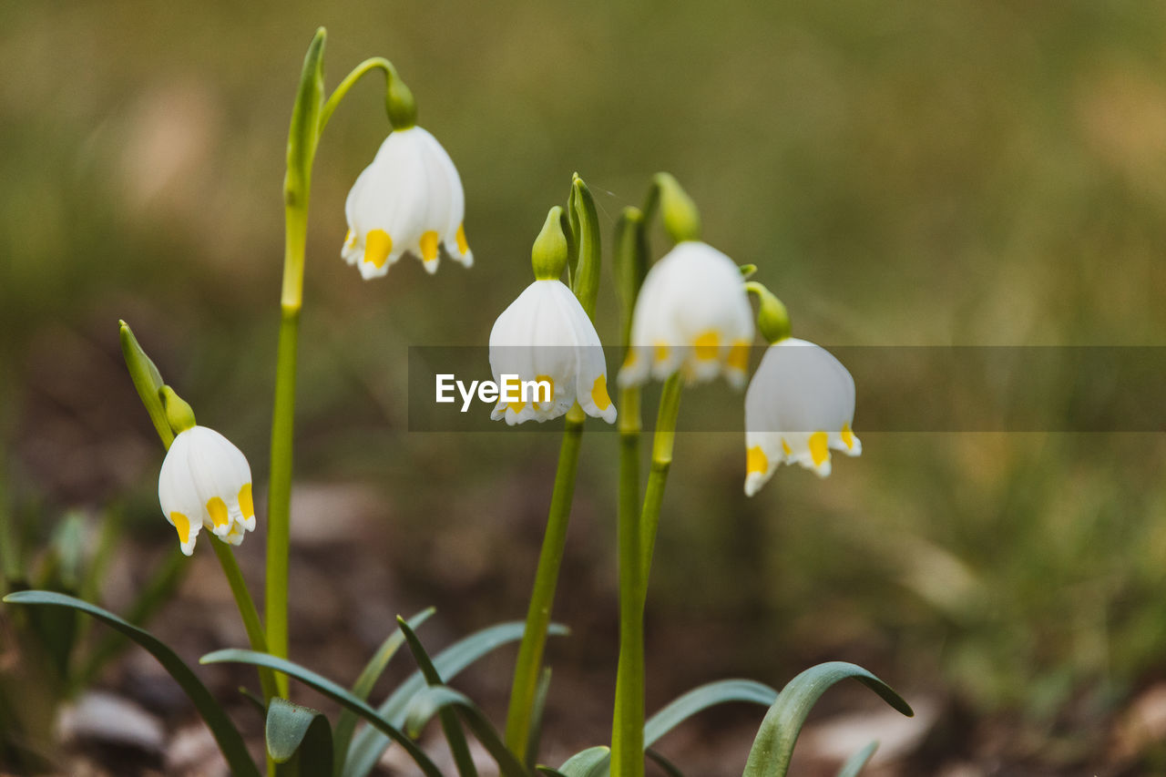flower, flowering plant, fragility, vulnerability, plant, growth, beauty in nature, freshness, close-up, focus on foreground, petal, white color, nature, plant stem, flower head, day, inflorescence, no people, snowdrop, selective focus, outdoors