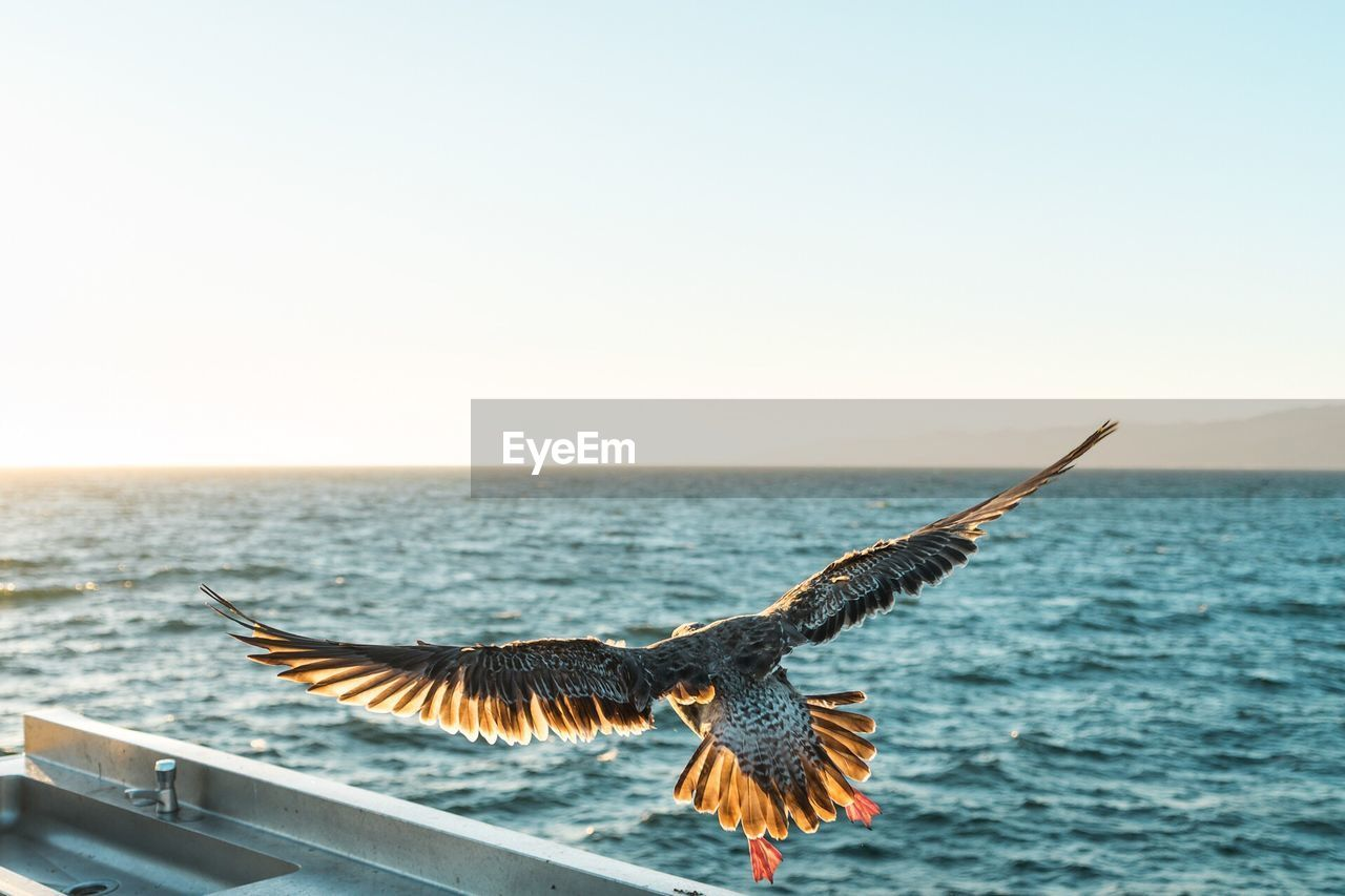 Close-Up Of Eagle Flying Over Sea Against Clear Sky During Sunset