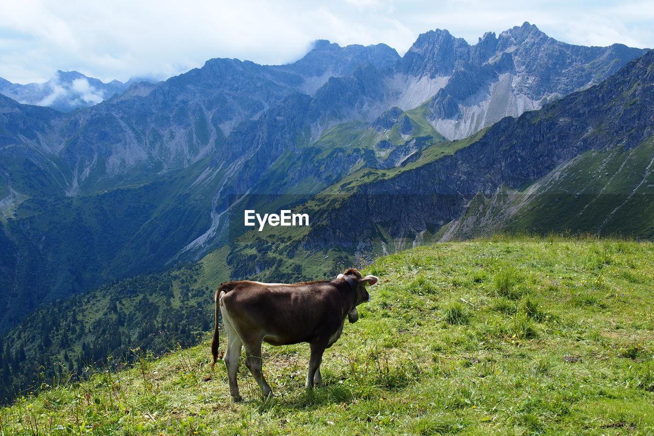 Cow On Mountain