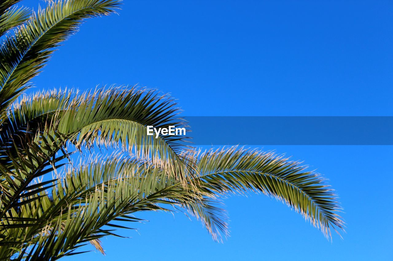 sky, palm tree, blue, tree, growth, tropical climate, leaf, plant, clear sky, palm leaf, low angle view, nature, no people, beauty in nature, copy space, green color, day, plant part, close-up, tranquility, outdoors, tropical tree, coconut palm tree