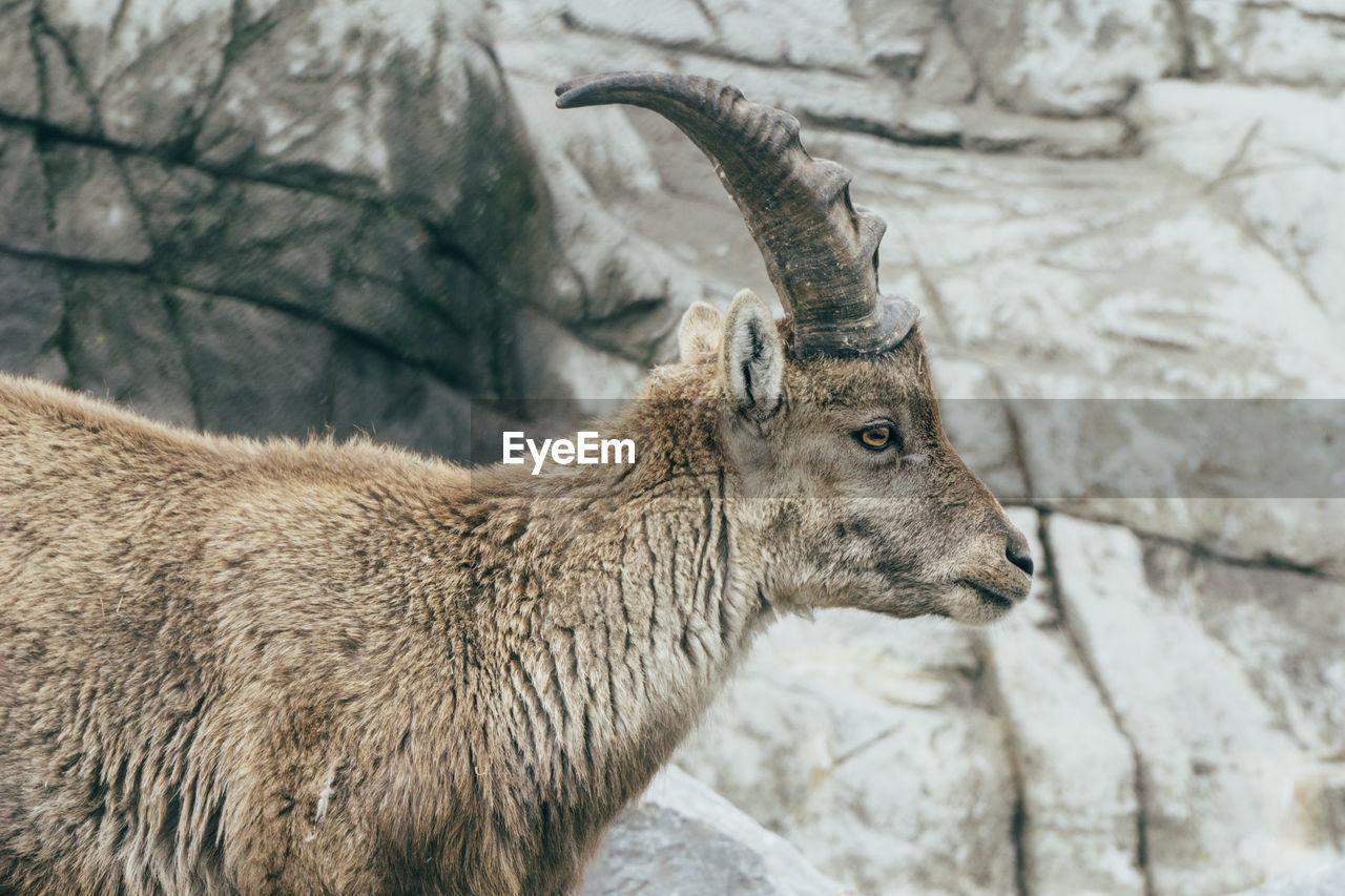 Close-Up Of Female Ibex