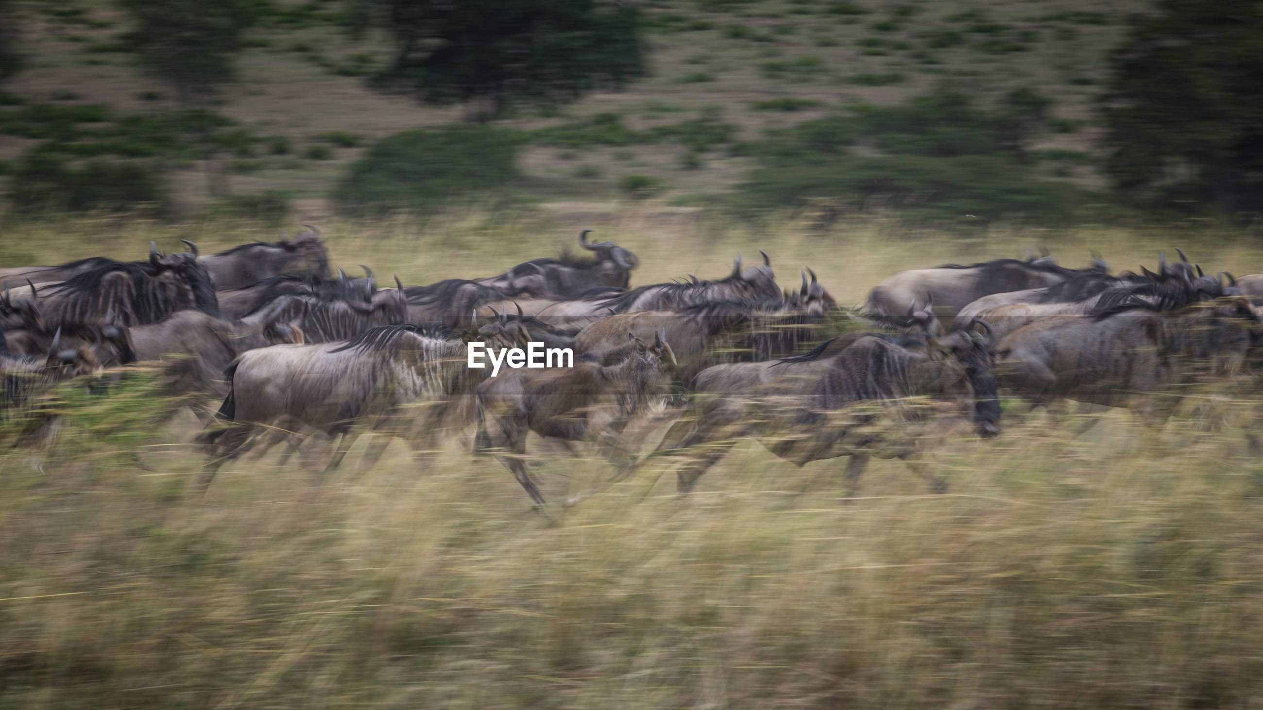 Large group of wildebeest on field