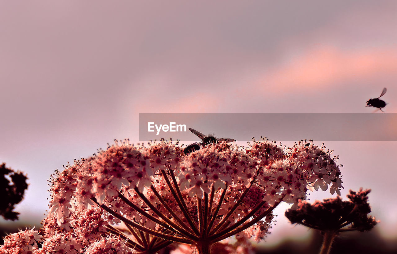 Close-Up Of Bees Pollinating On Pink Flowers Against Sky During Sunset