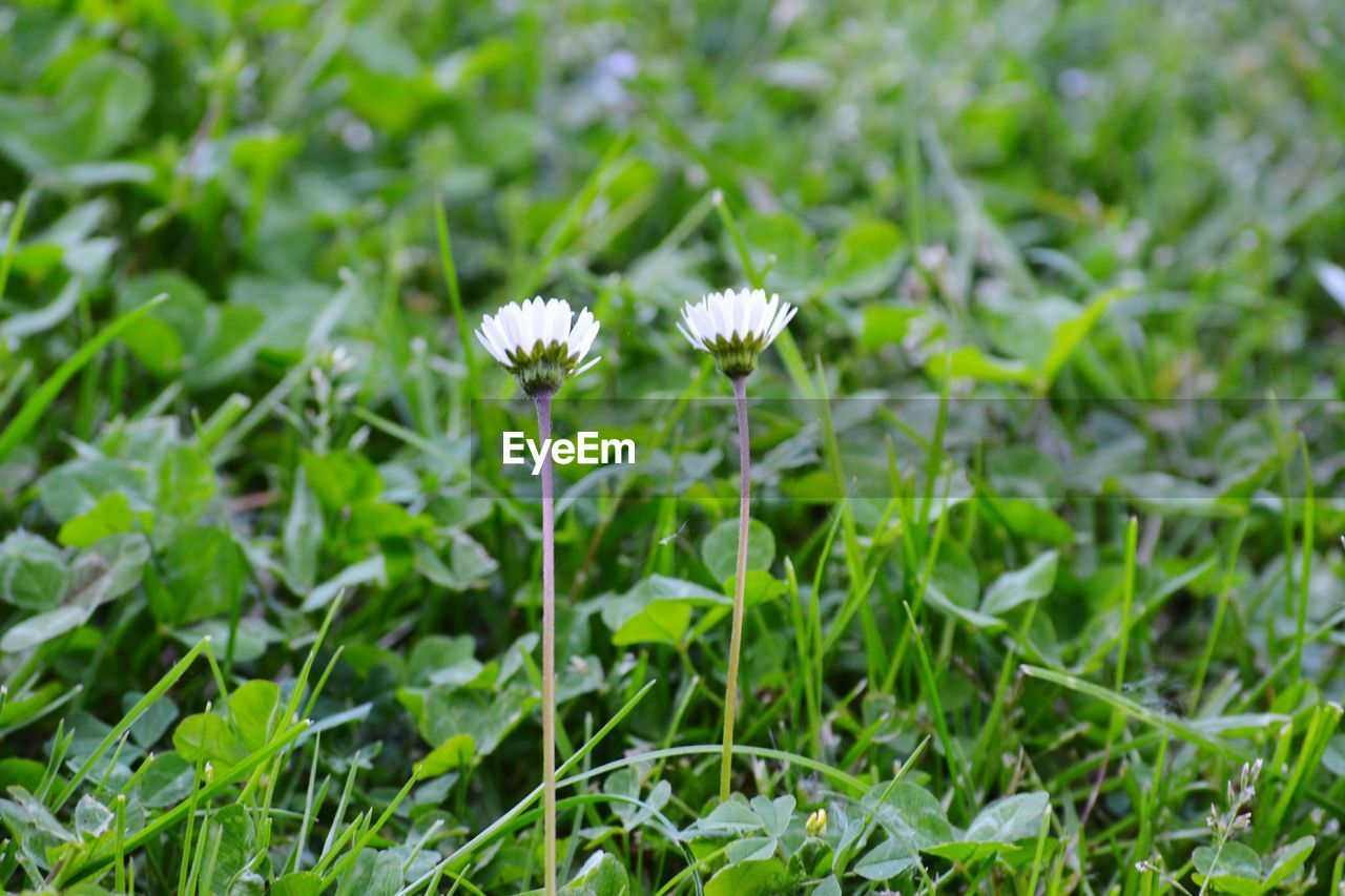 plant, flowering plant, flower, growth, fragility, vulnerability, freshness, beauty in nature, green color, field, land, close-up, flower head, nature, inflorescence, petal, white color, selective focus, no people, grass, outdoors