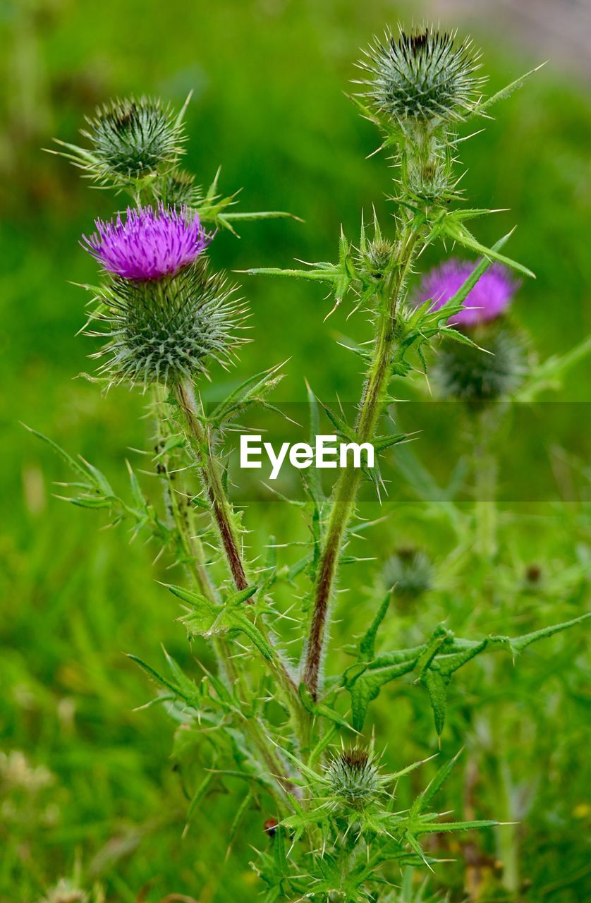 purple, flower, growth, nature, plant, beauty in nature, green color, thistle, fragility, outdoors, day, focus on foreground, field, no people, freshness, flower head, close-up