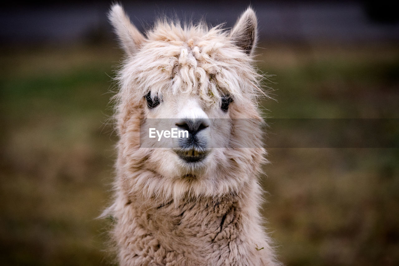 animal, mammal, animal themes, one animal, animal wildlife, animals in the wild, focus on foreground, vertebrate, no people, animal head, day, close-up, animal body part, land, portrait, field, domestic animals, animal hair, pets, nature, outdoors, whisker, herbivorous