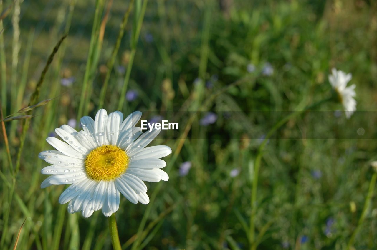 flower, flowering plant, plant, fragility, vulnerability, freshness, growth, beauty in nature, petal, flower head, inflorescence, close-up, nature, focus on foreground, pollen, daisy, white color, field, yellow, outdoors, no people
