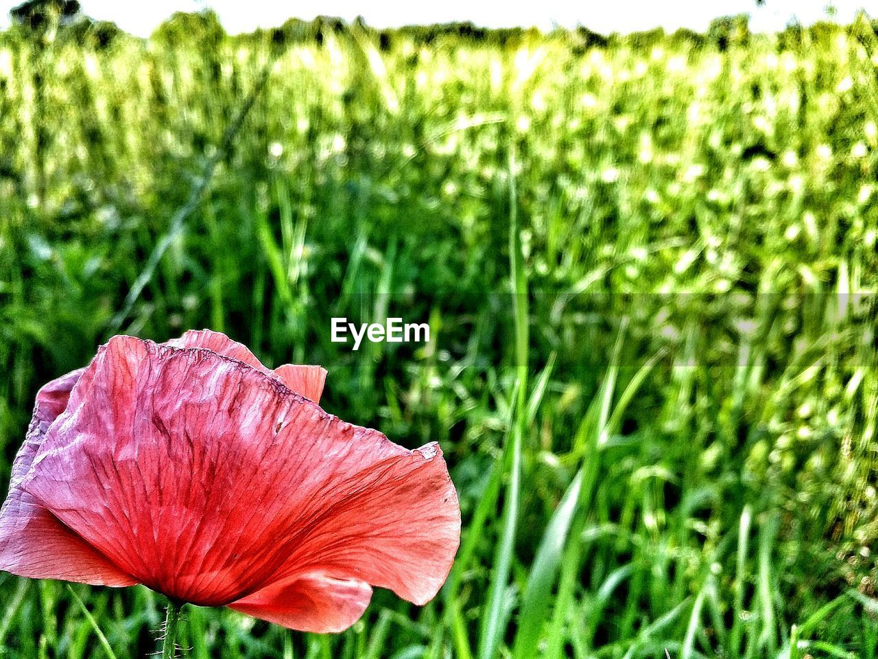 growth, plant, nature, flower, grass, green color, no people, beauty in nature, petal, field, fragility, outdoors, day, close-up, flower head, focus on foreground, freshness, blooming