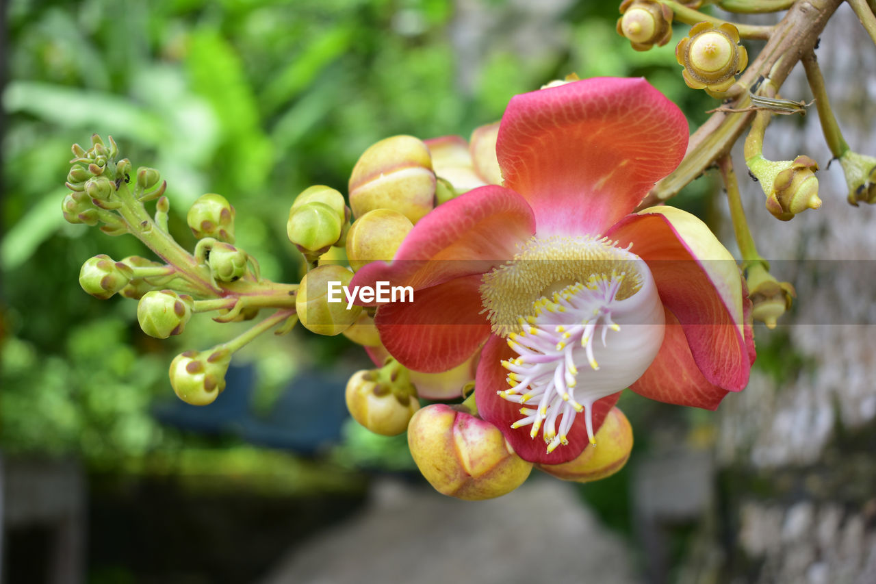 plant, flower, growth, flowering plant, beauty in nature, close-up, vulnerability, fragility, freshness, focus on foreground, nature, day, flower head, petal, no people, inflorescence, bud, red, outdoors, botany, pollen