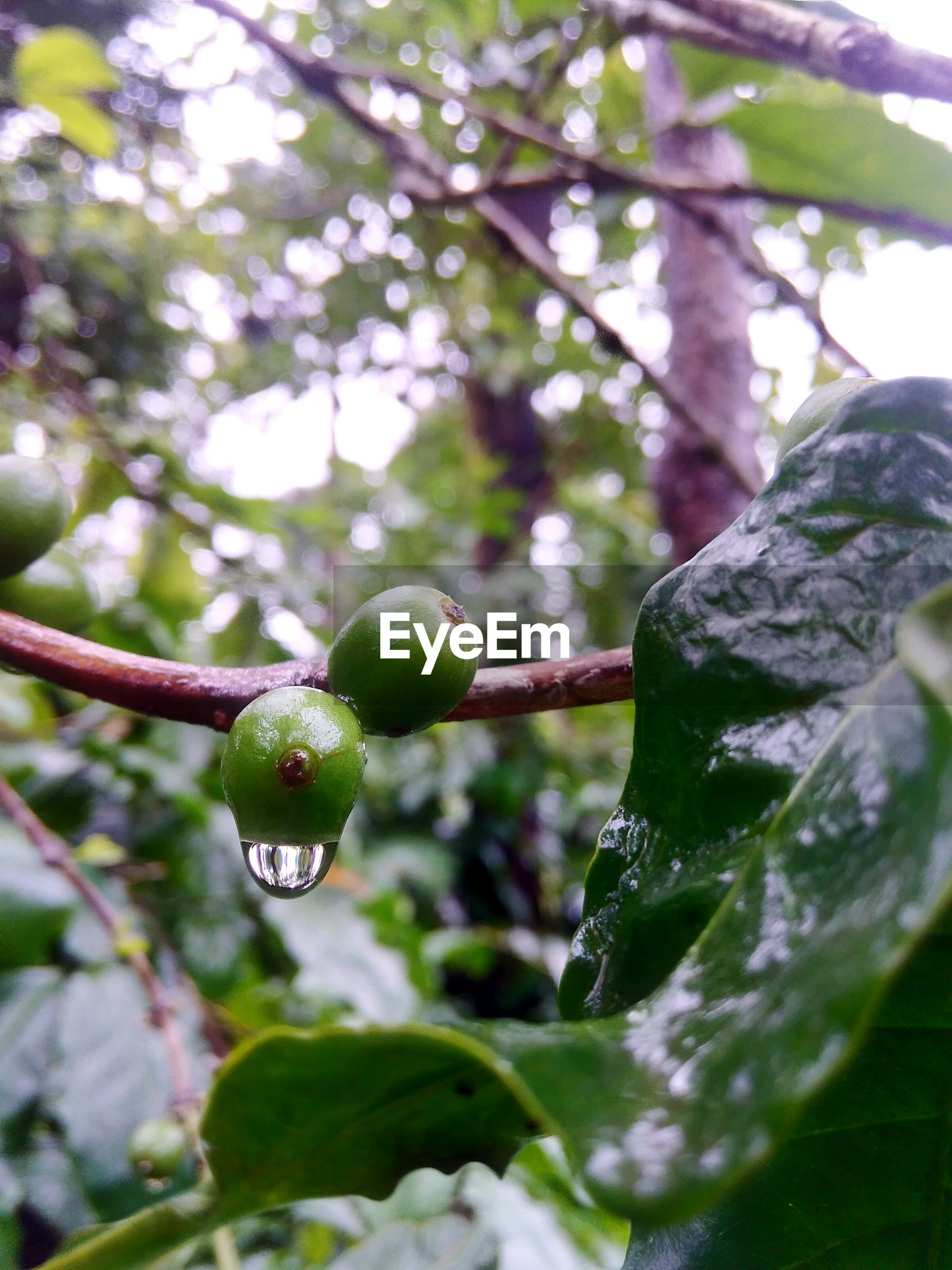 Close-Up Of Wet Arabica Coffee Fruits During Rainy Season