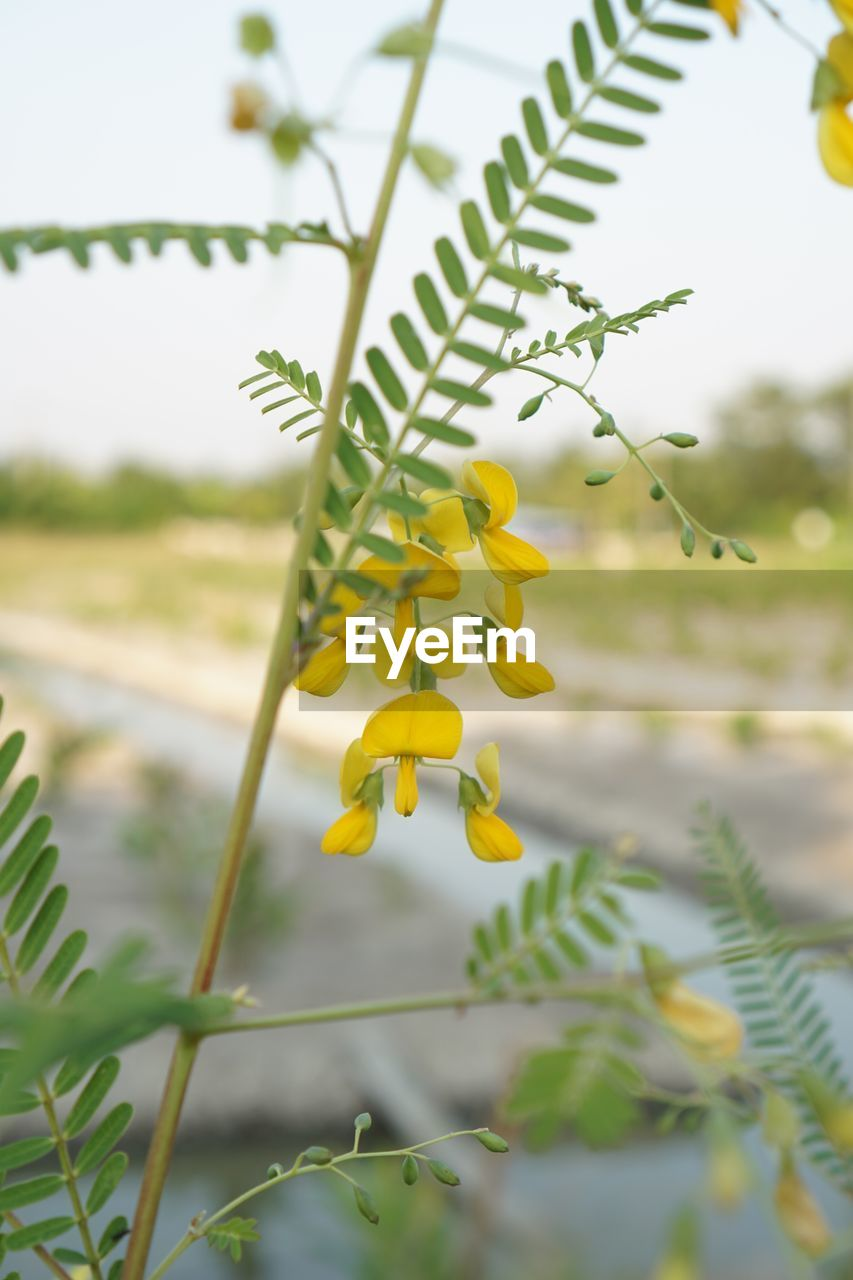 plant, growth, flowering plant, flower, vulnerability, fragility, beauty in nature, yellow, close-up, freshness, nature, no people, petal, focus on foreground, day, flower head, plant stem, field, selective focus, inflorescence, outdoors