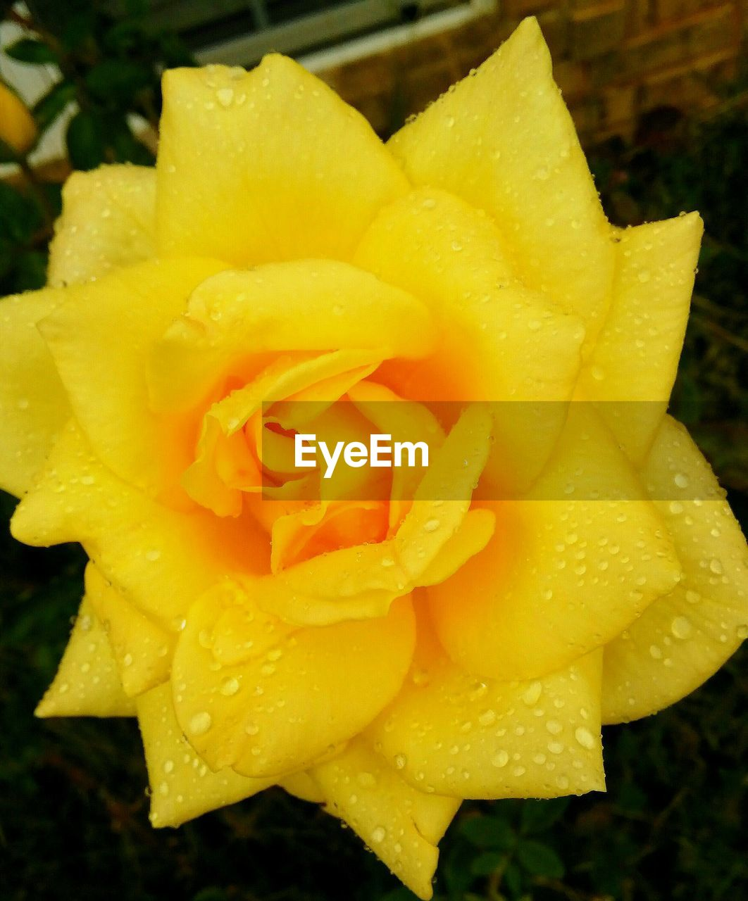 Close-up of wet yellow rose blooming outdoors