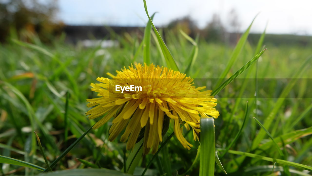 plant, flower, flowering plant, yellow, beauty in nature, growth, vulnerability, fragility, freshness, petal, close-up, flower head, inflorescence, field, land, nature, green color, grass, day, no people, outdoors, blade of grass