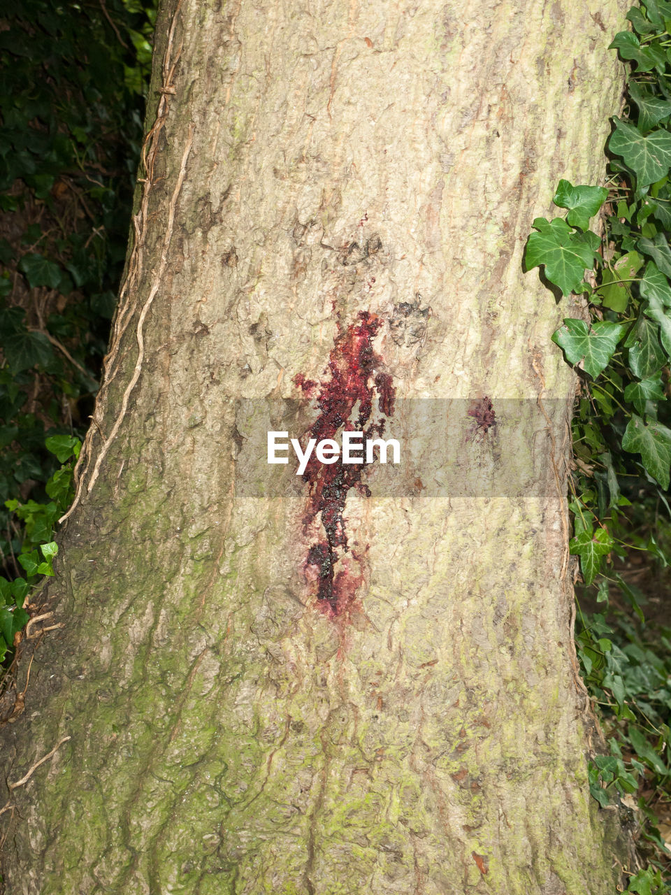 tree trunk, tree, forest, nature, day, textured, growth, outdoors, no people, close-up
