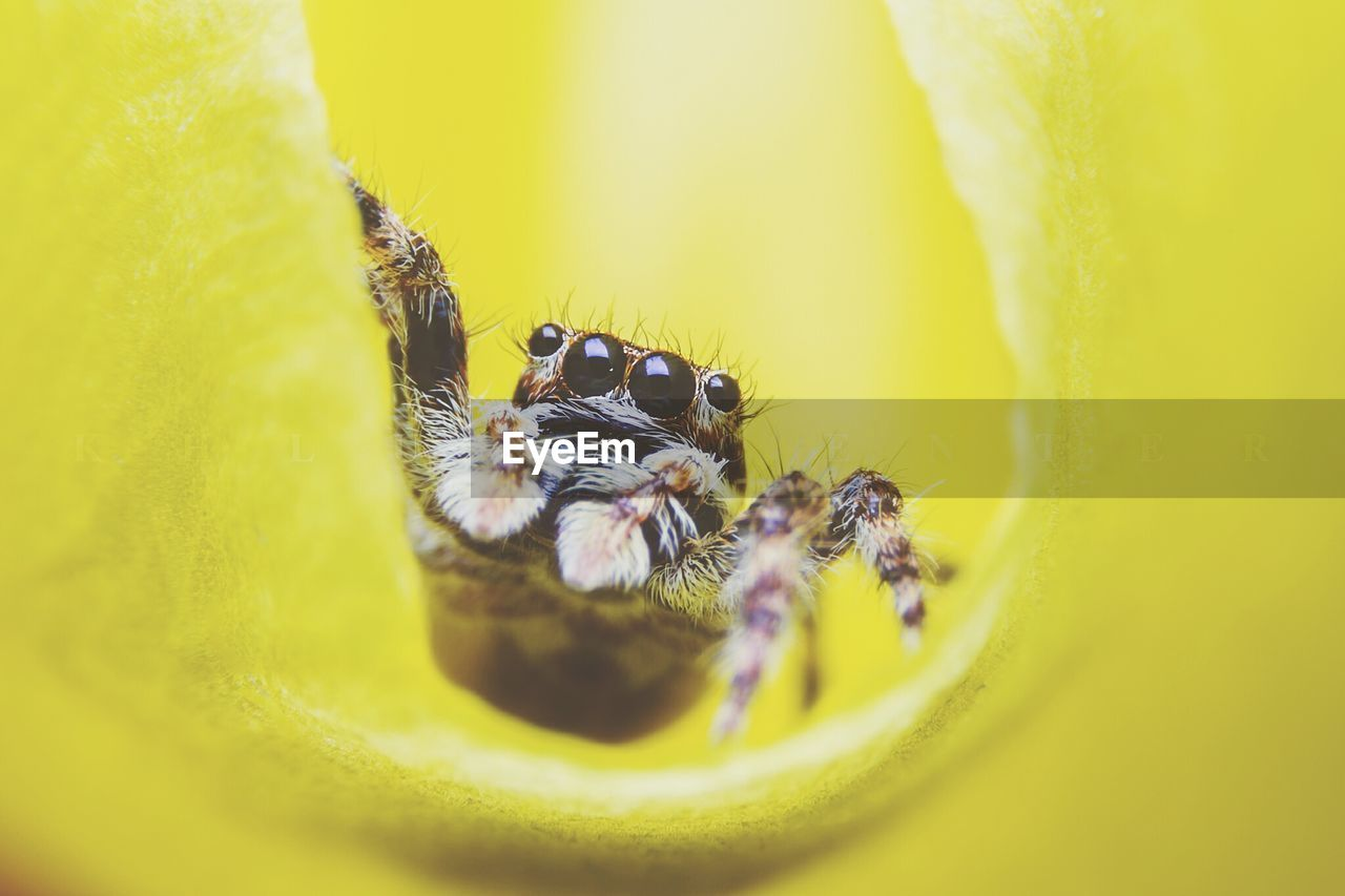 Close-Up Of Jumping Spider On Yellow Flower