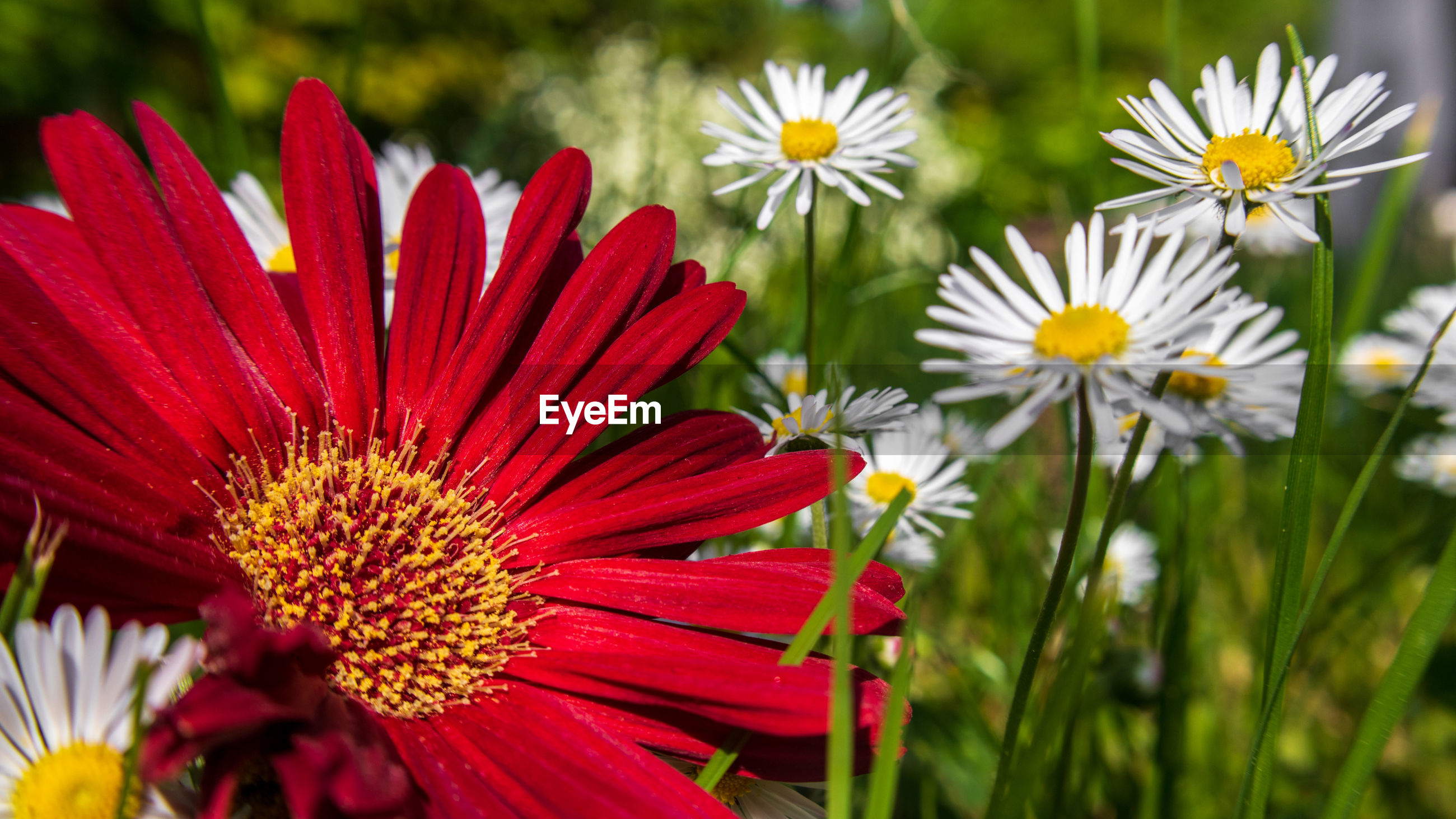 CLOSE-UP OF RED DAISIES