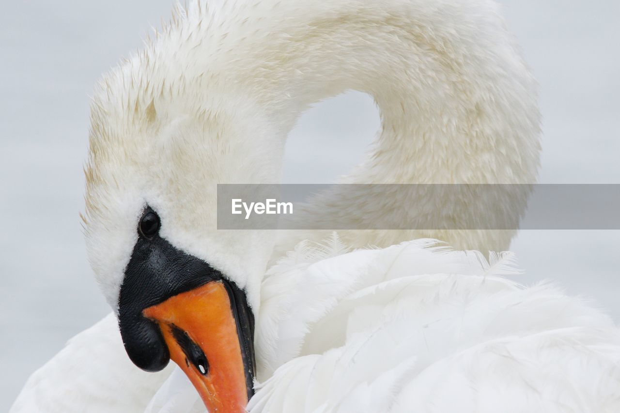 animal themes, animal, white color, vertebrate, animal wildlife, one animal, bird, animals in the wild, swan, beak, close-up, animal body part, focus on foreground, no people, nature, animal head, day, water bird, looking, mute swan, animal neck, animal eye