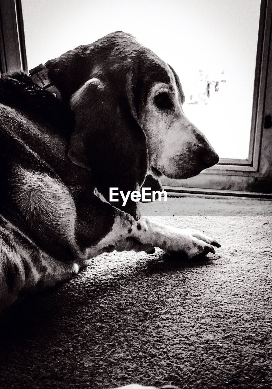dog, pets, domestic animals, mammal, animal themes, one animal, indoors, home interior, close-up, relaxation, no people, day, beagle