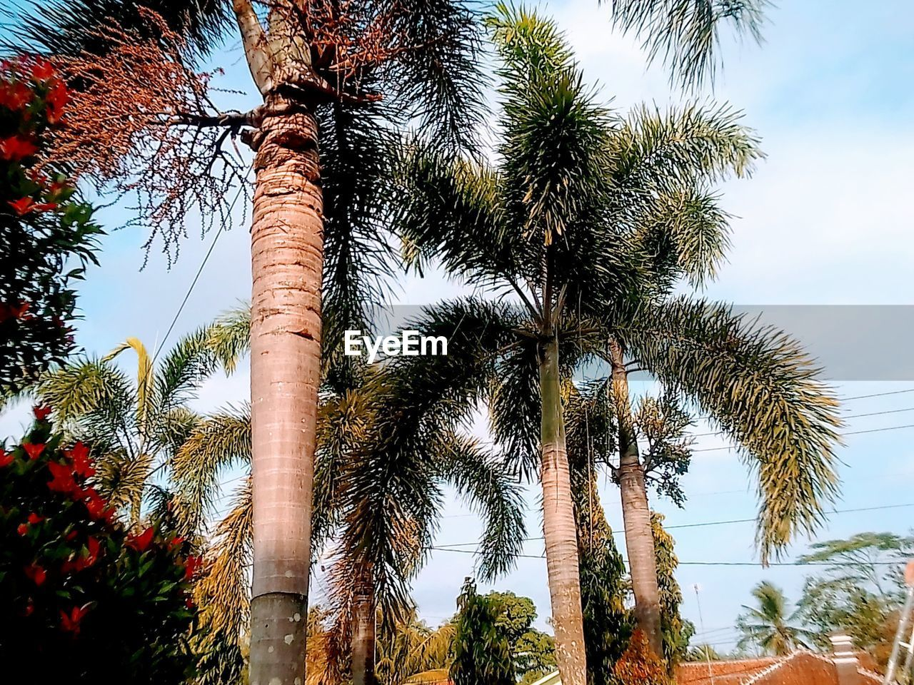tree, plant, low angle view, sky, growth, palm tree, tropical climate, tree trunk, trunk, nature, tall - high, day, no people, outdoors, beauty in nature, tranquility, green color, branch, sunlight, clear sky, tropical tree, coconut palm tree, treelined, palm leaf