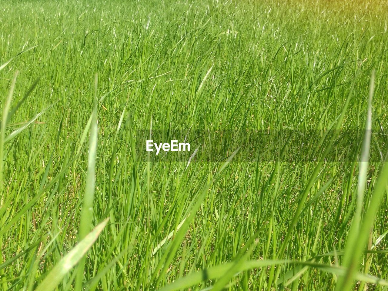 grass, field, growth, green color, nature, no people, day, outdoors, agriculture, beauty in nature, backgrounds, plant, wheat