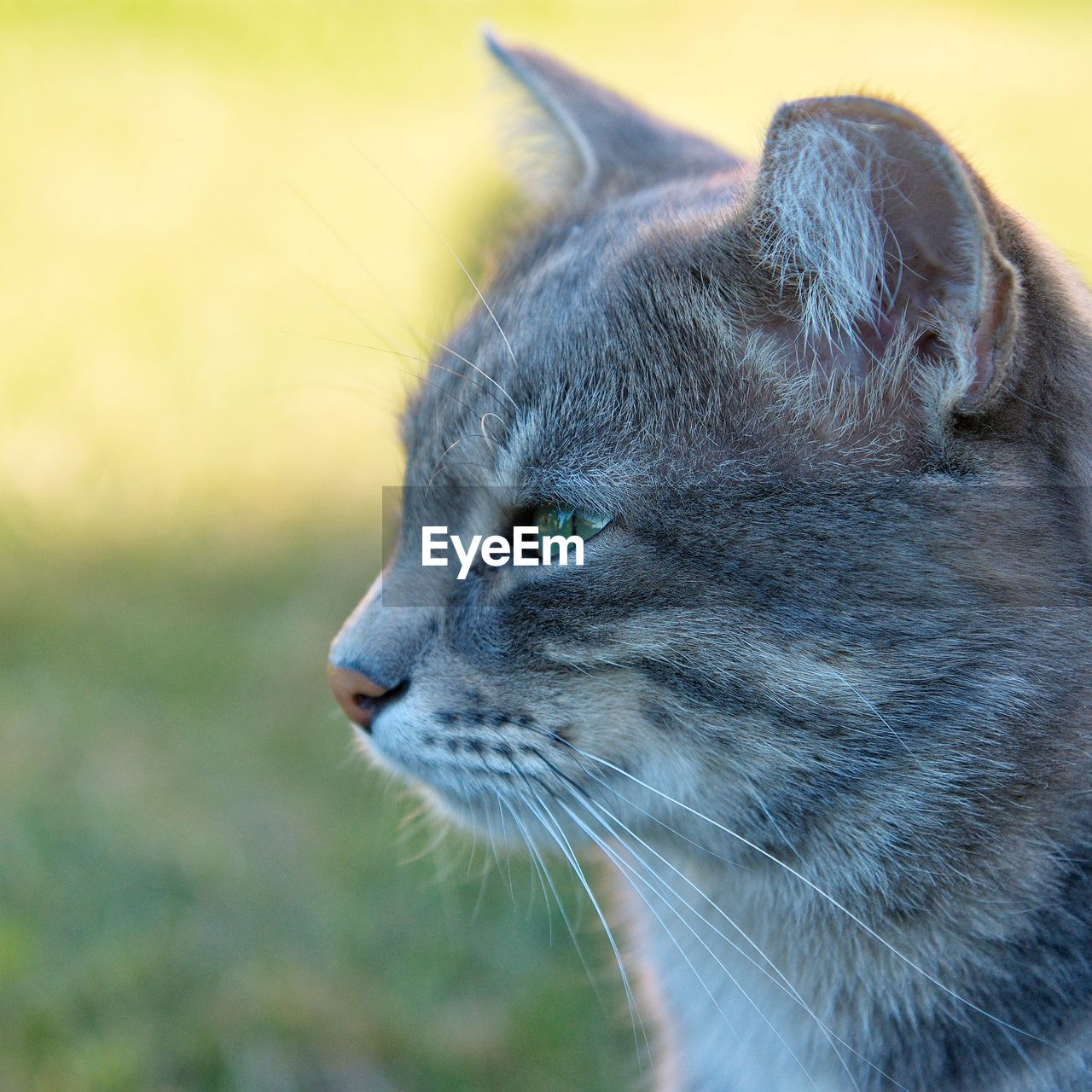 one animal, animal themes, animal, mammal, pets, domestic, cat, domestic animals, feline, close-up, domestic cat, vertebrate, looking, looking away, animal body part, whisker, focus on foreground, animal head, no people, day, profile view, animal eye, animal nose, snout