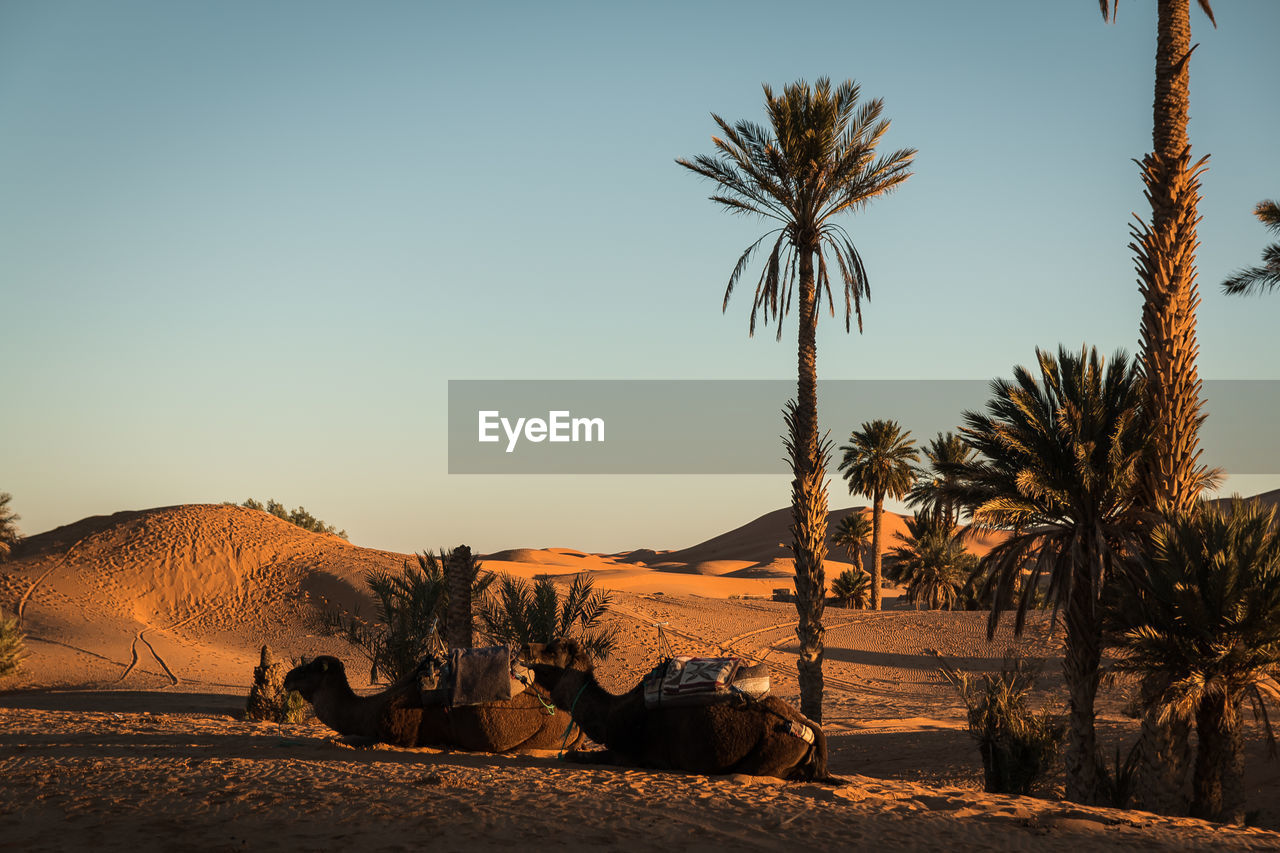 sky, tree, plant, clear sky, scenics - nature, land, palm tree, nature, landscape, tropical climate, environment, desert, mammal, beauty in nature, domestic animals, sunset, field, pets, domestic, sunlight, arid climate, no people, climate, outdoors