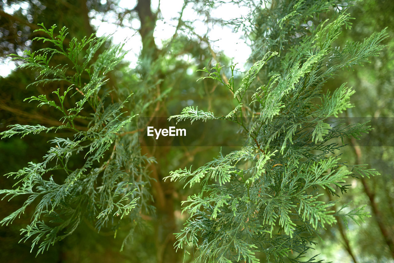 growth, plant, green color, beauty in nature, tree, nature, no people, day, leaf, close-up, plant part, focus on foreground, tranquility, outdoors, freshness, branch, selective focus, fragility, vulnerability, pine tree, fir tree, coniferous tree