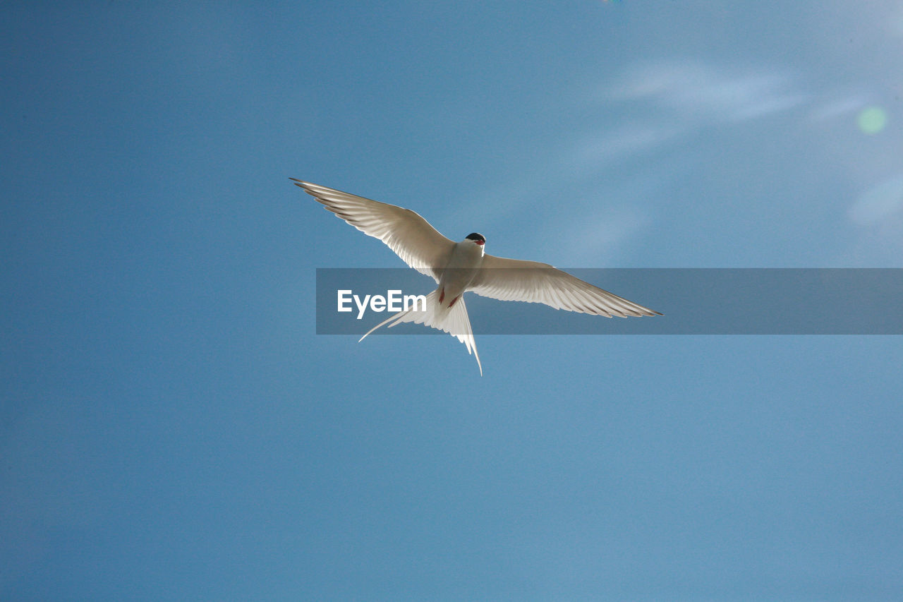 flying, animal wildlife, animals in the wild, animal themes, spread wings, bird, animal, vertebrate, one animal, sky, low angle view, mid-air, no people, blue, motion, day, nature, clear sky, seagull, outdoors