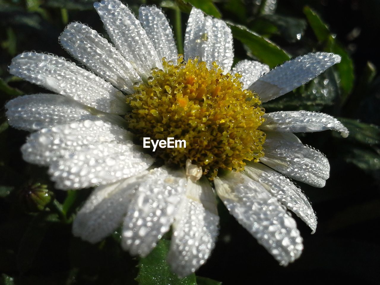 flower, fragility, petal, nature, beauty in nature, flower head, growth, drop, freshness, plant, botany, close-up, pollen, wet, day, water, outdoors, no people, blooming, leaf