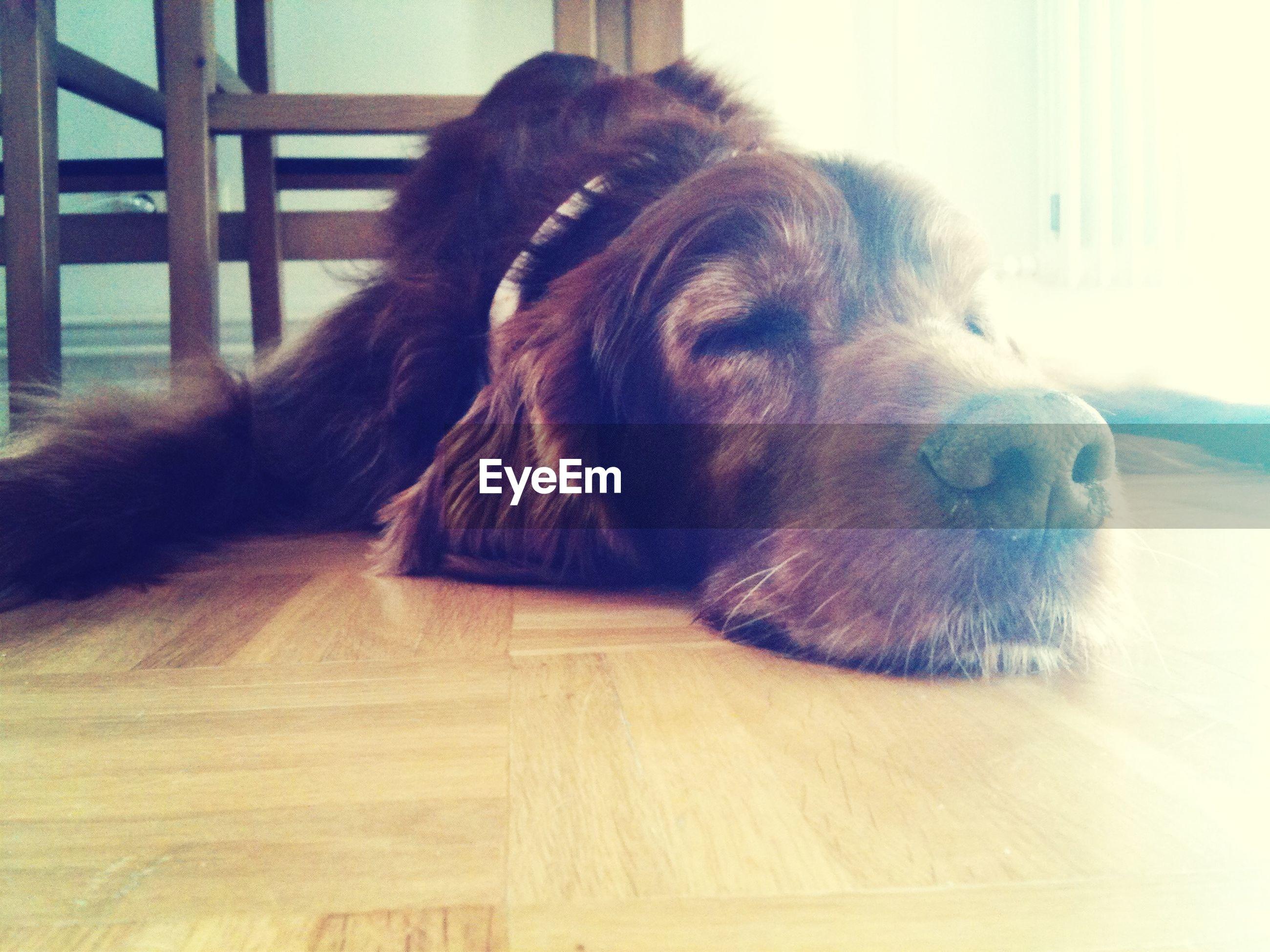 Dog sleeping on floor in house