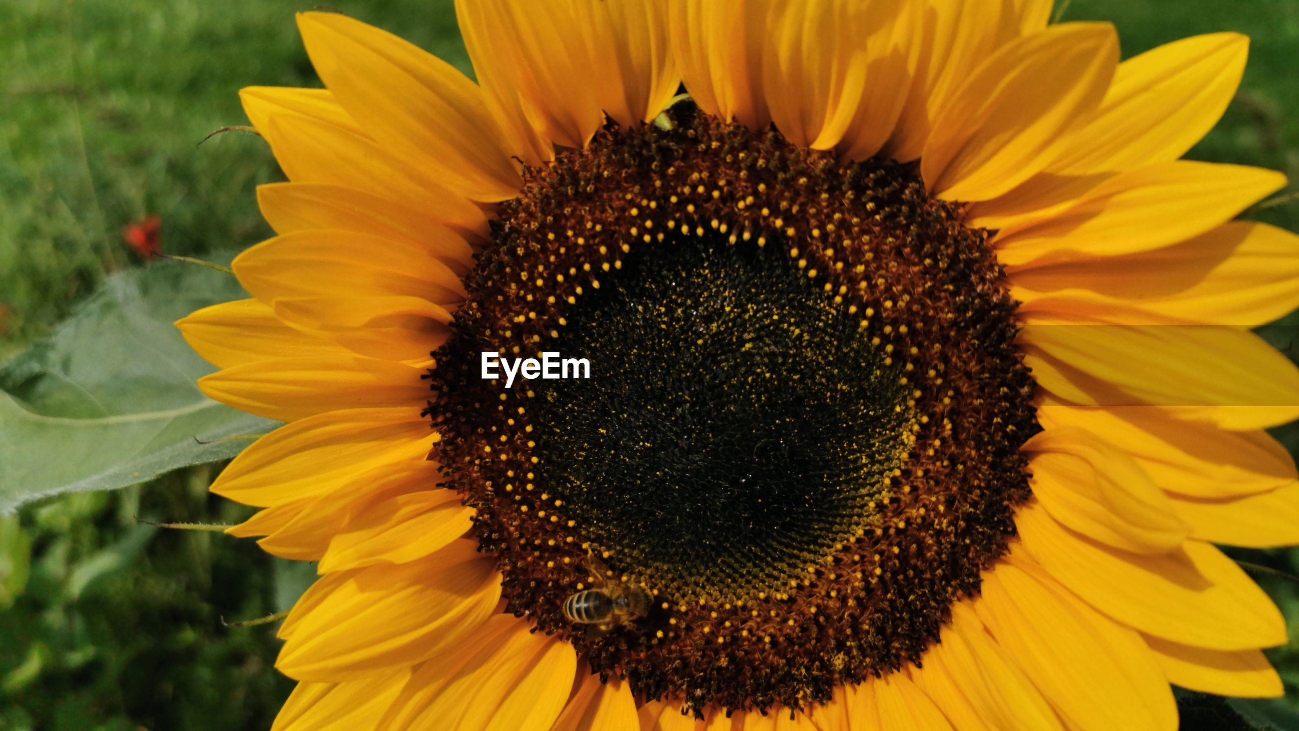 CLOSE-UP OF YELLOW SUNFLOWER ON FLOWER