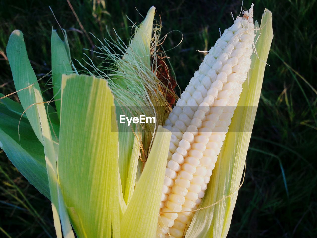 growth, plant, close-up, day, no people, outdoors, focus on foreground, nature, green color, corn, freshness, fragility, beauty in nature