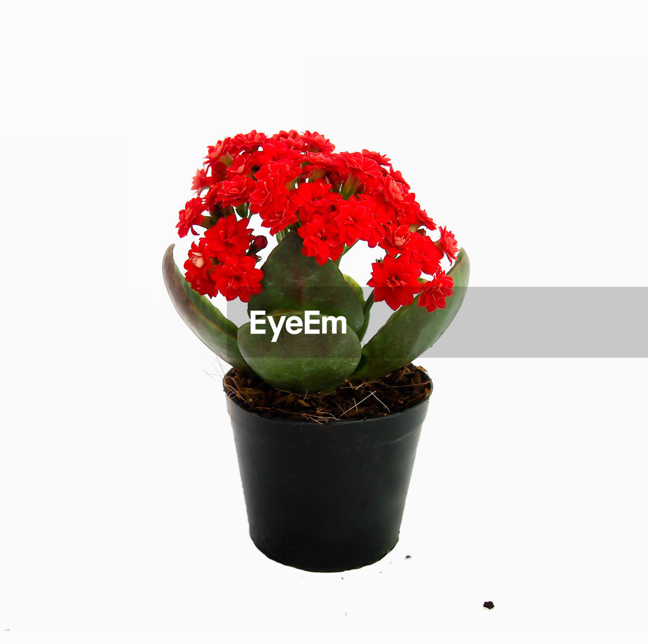 white background, growth, flower, plant, potted plant, red, studio shot, no people, nature, freshness, close-up, day