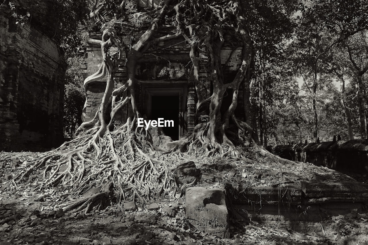 tree, architecture, built structure, plant, abandoned, no people, day, nature, damaged, building exterior, forest, building, root, trunk, tree trunk, history, old, ruined, run-down, obsolete, outdoors, demolished, deterioration, collapsing