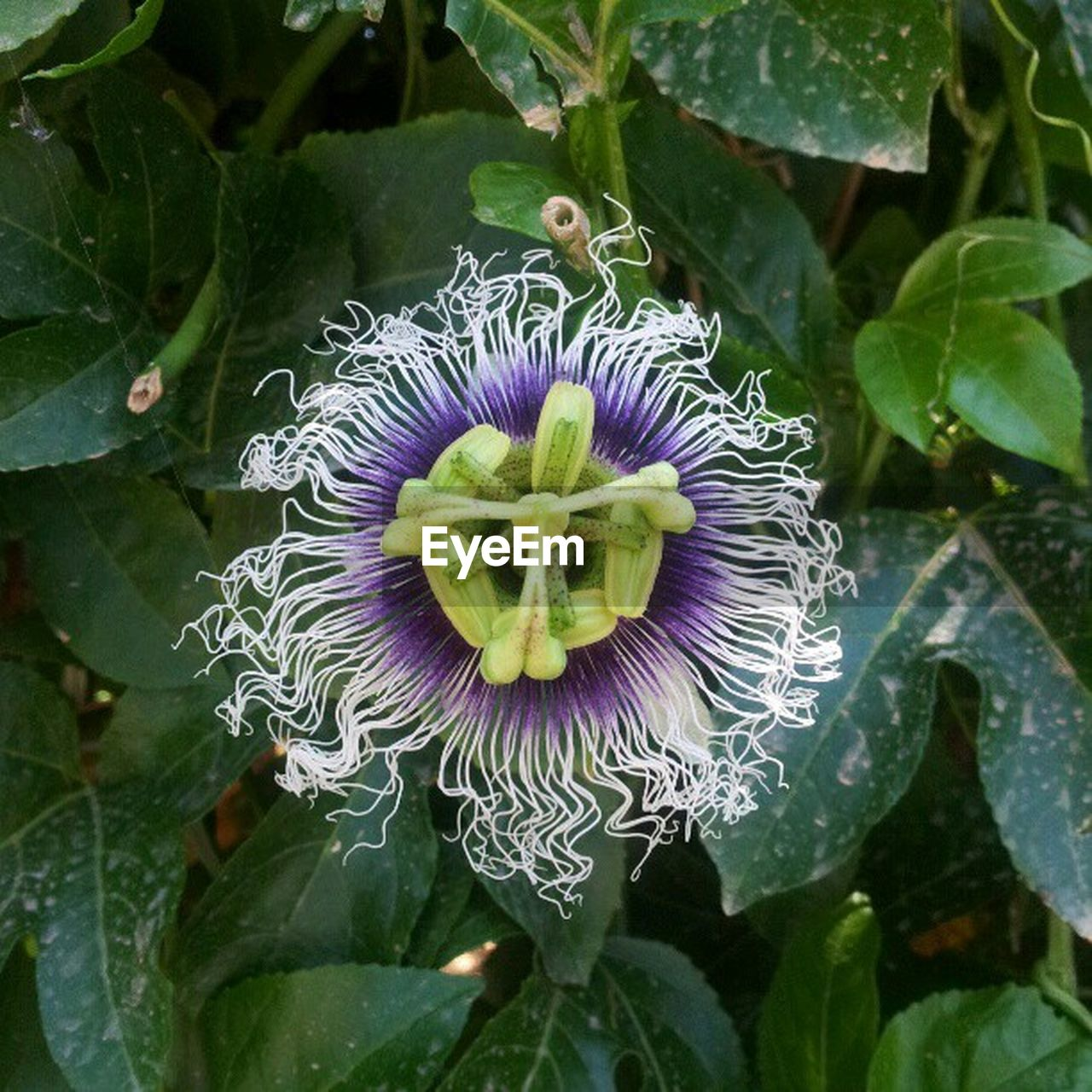 leaf, flower, plant, growth, beauty in nature, nature, petal, freshness, flower head, day, fragility, passion flower, green color, purple, close-up, outdoors, blooming, no people